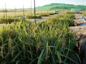 Rice Investigation