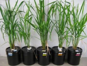 Rice plants growing