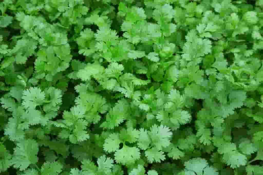 Field of coriander herb