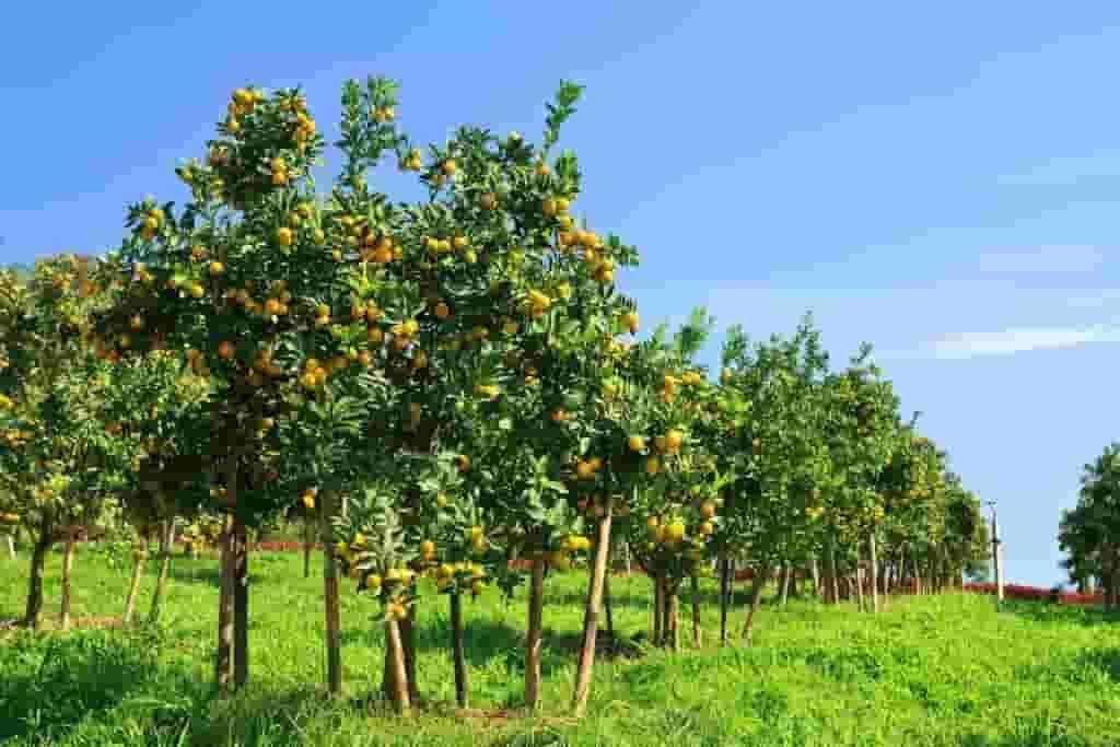 Citrus Tree Farm