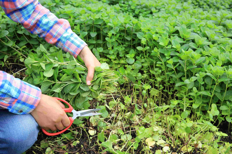 Farmer picking herbs