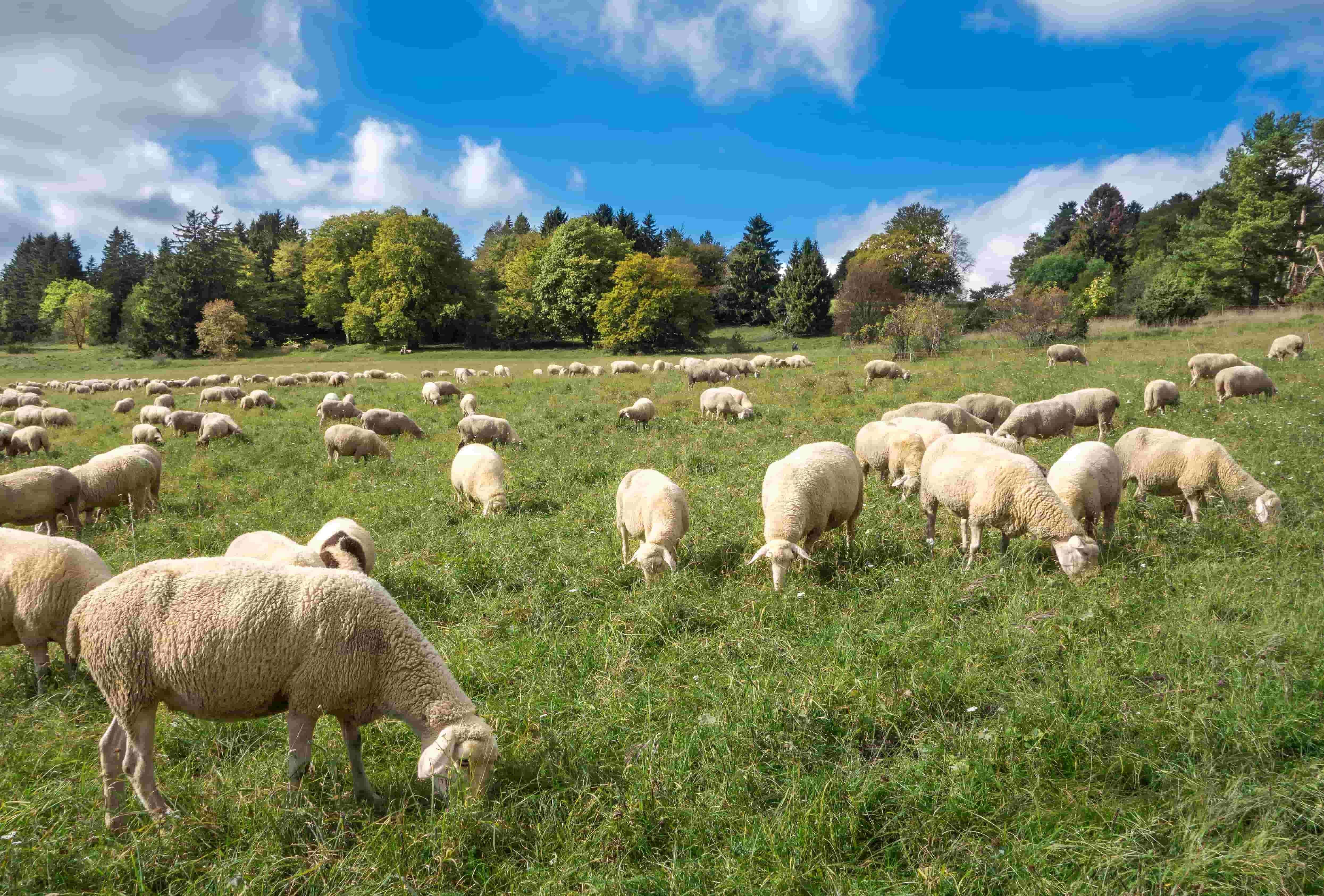 Sheep eating grass, clover and forbs