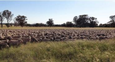 A mob of merino ewes