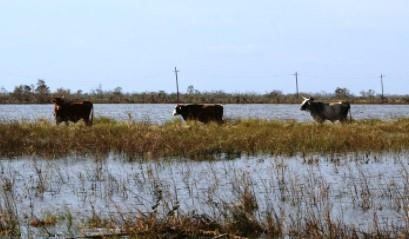 Cattle on high ground after a hurricane tidal surge