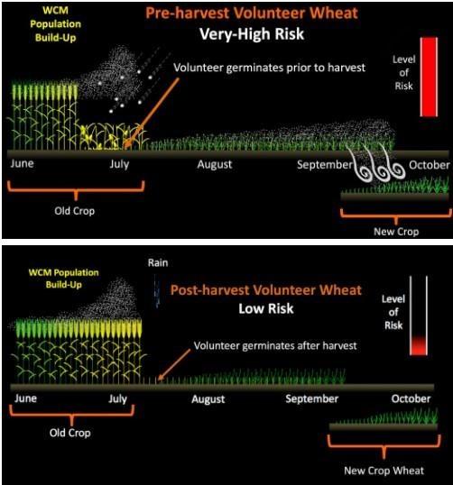 Comparison of the increased disease risk of pre-harvest volunteer wheat