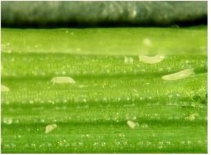 Figure 3. Wheat curl mite on a wheat leaf