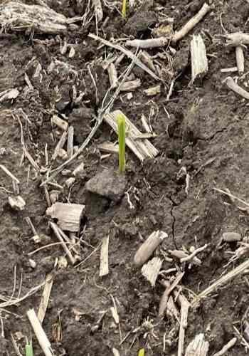 Emerged corn