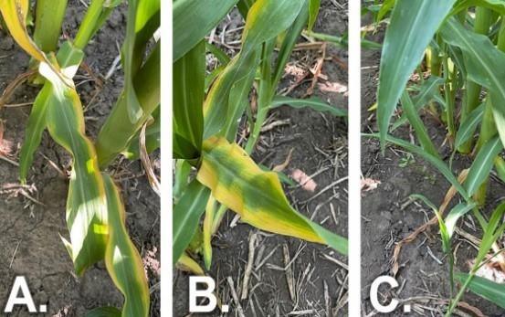 Figure 1. Potassium (K) deficiency symptoms where leaf yellowing started at the tip of older leaves and moved down the leaf