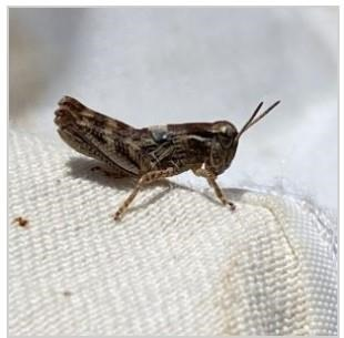 Immature differential grasshopper