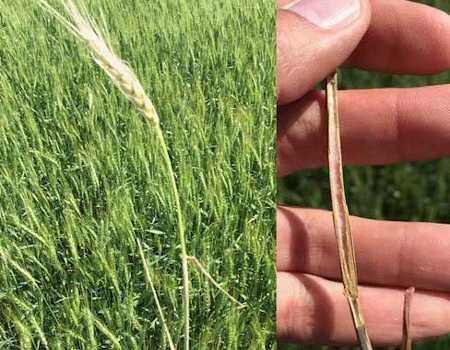 White wheat head caused by Fusarium root rot