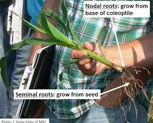 Nodal and seminal roots on a corn plant