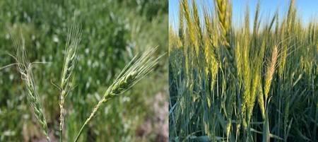 Freeze-damaged wheat heads