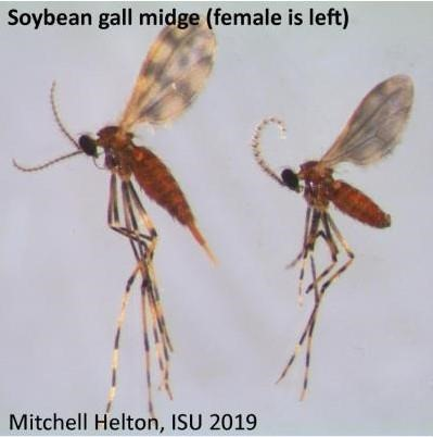 Adult soybean gall midge.