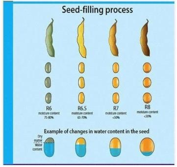 Figure 1. Soybean seed filling process