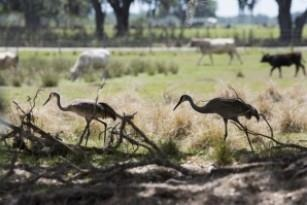 Sandhill cranes enjoy the open, green spaces with cattle