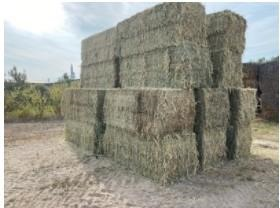 Research shows that sunn hemp can be grown in eastern Wyoming. Like other types of forage crops, it can be baled and used for animal feed