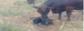 Plan now to make the most of your spring calf crop