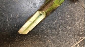 Figure 3. Lower stem and crown tissue of soybean