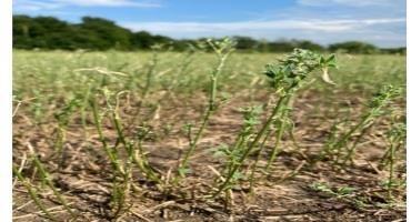 Figure 4: Alfalfa field after an intense worm defoliation