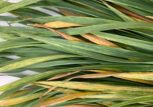 wheat showing symptoms of a wheat streak mosaic virus infection in the fall