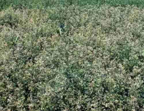 Alfalfa weevil damage to alfalfa field