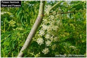 Poison Hemlock Flowers and Stem