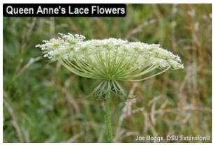 Queen Anne Lace Flowers