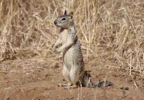 A California ground squirrel stands on brown soil surrounded by dry grass