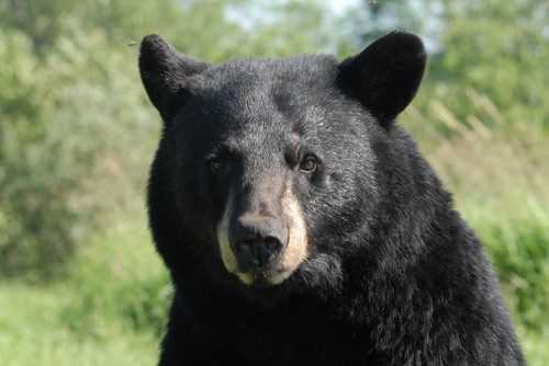 Black bear in British Columbia stealing animals from nearby farms
