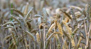 Below-normal year for fusarium levels in wheat