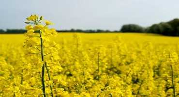 Proposed insecticide ban worries canola growers