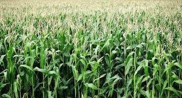 Beans starting to turn, corn ok