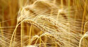 Alberta Barley and Wheat Commission testing shared management