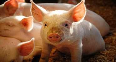 IAV-S is threatening swine herds across the globe