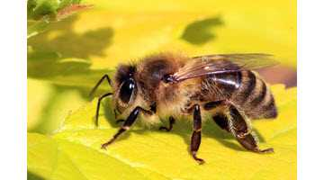 New research: If used properly, neonics do not harm bee colonies