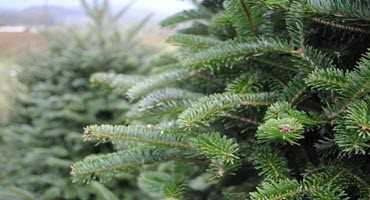 No more needle nuisance: researchers develop long-lasting Christmas tree
