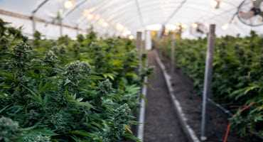 British Columbia could be home to one of Canada's largest marijuana farms