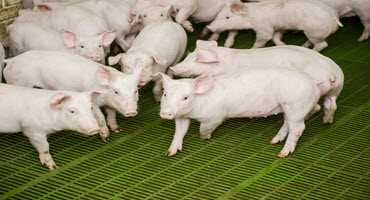 Space is tied to pig growth and behavior