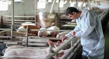 Feds invest in Canadian swine projects