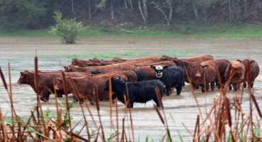 Flooding Affecting Nutrition and Diets of Livestock