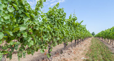 Gov't will support Ontario grape growers