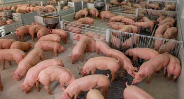 Plant closure backs up pork production