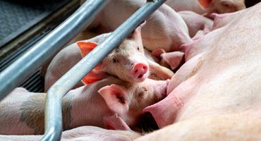 Swine genetics industry challenges