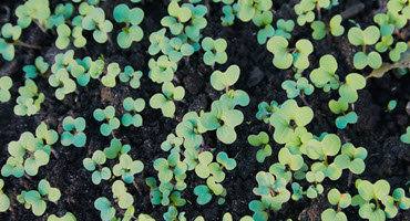 New protection against flea beetles for canola
