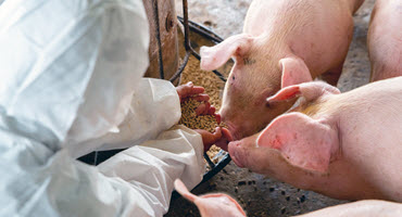 Feed additives may mitigate ASF risk