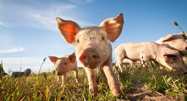 New manual for small-lot pork producers