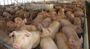 The hunt for disease-resilient pigs