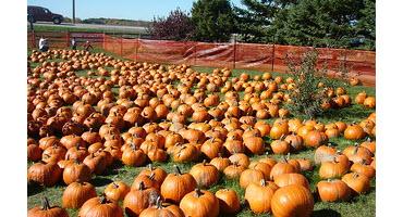 Ont. pumpkin farmers happy with crop