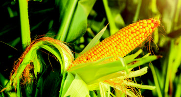 MCA holds corn yield competition