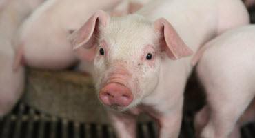 Progress toward pig disease resilience